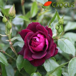 Crocus offers in the London catalogue